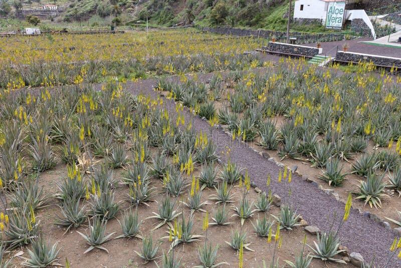 Hermigua Spain. 03-02-2019. Aloe Vera plantation at Hermigua. La Gomera. Canary Islands royalty free stock photos
