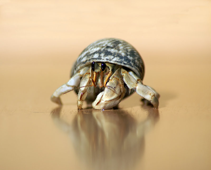Download Hermit Crab Royalty Free Stock Image - Image: 1705826