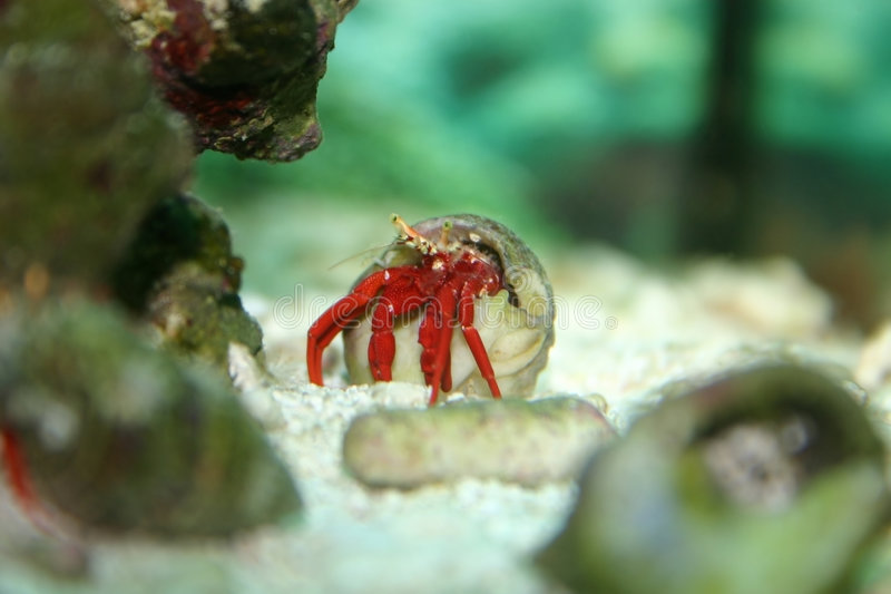Download Hermit Crab stock image. Image of tank, reef, shell, ocean - 17869