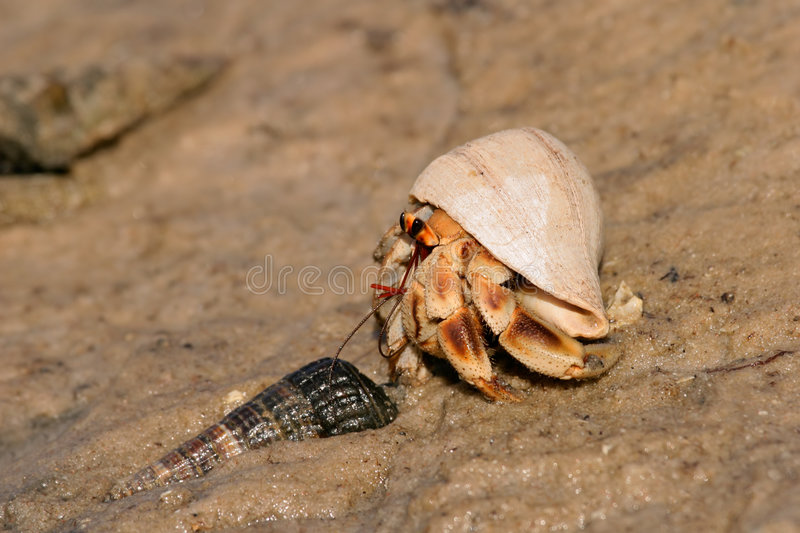 Download Hermit crab stock image. Image of sand, legs, crustacean - 3006971