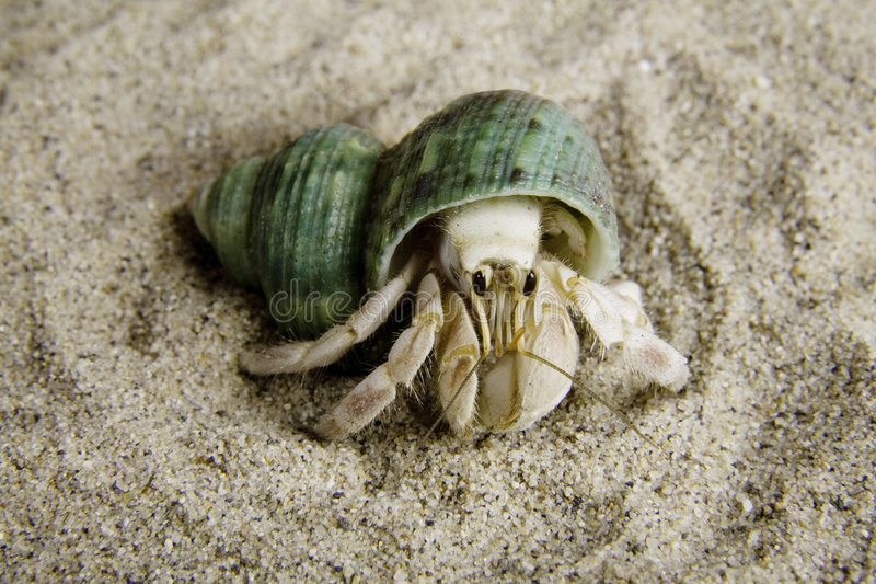 Hermit Crab 4 Stock Photography