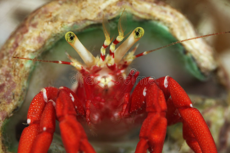 Download Hermit Crab stock image. Image of house, solitary, claw - 4910359