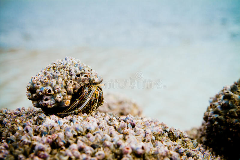 Hermit Crab on a beach covered in shells