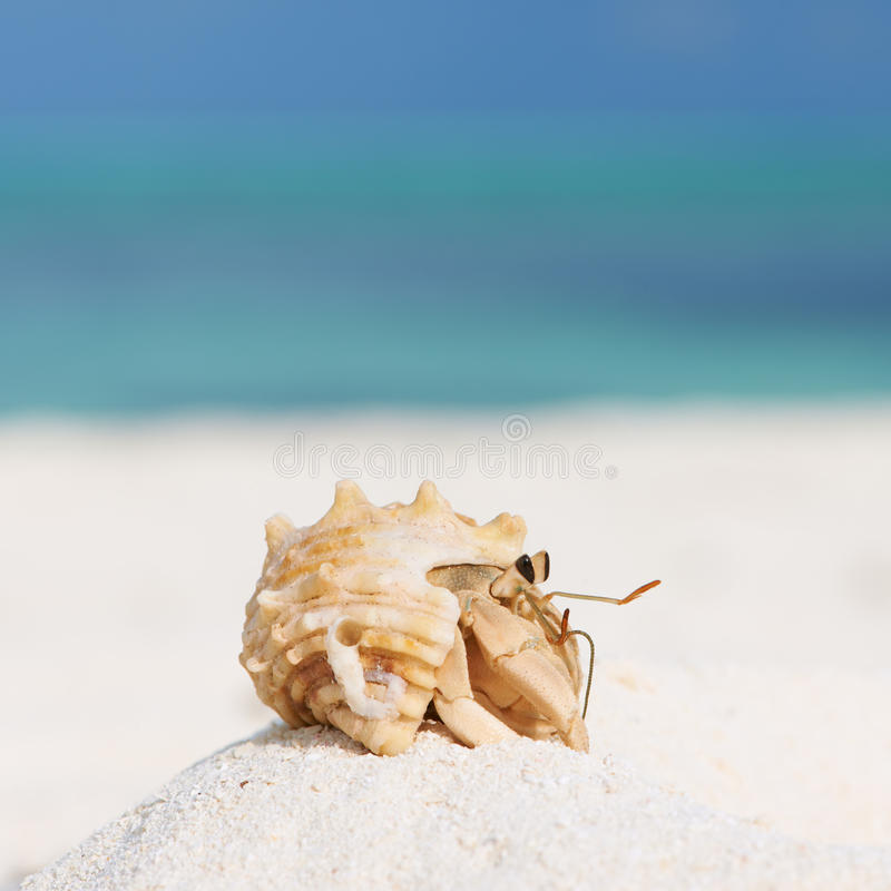Hermit crab at beach. Hermit crab on beach at Maldives stock photography