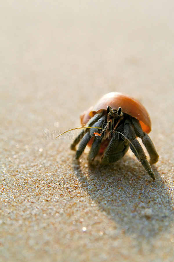 Download Hermit Crab On The Beach (paguro) Stock Photo - Image: 8439326