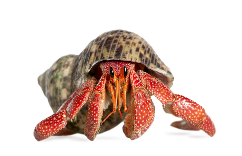 Download Hermit Crab - Coenobita Perlatus Stock Photo - Image: 9087960