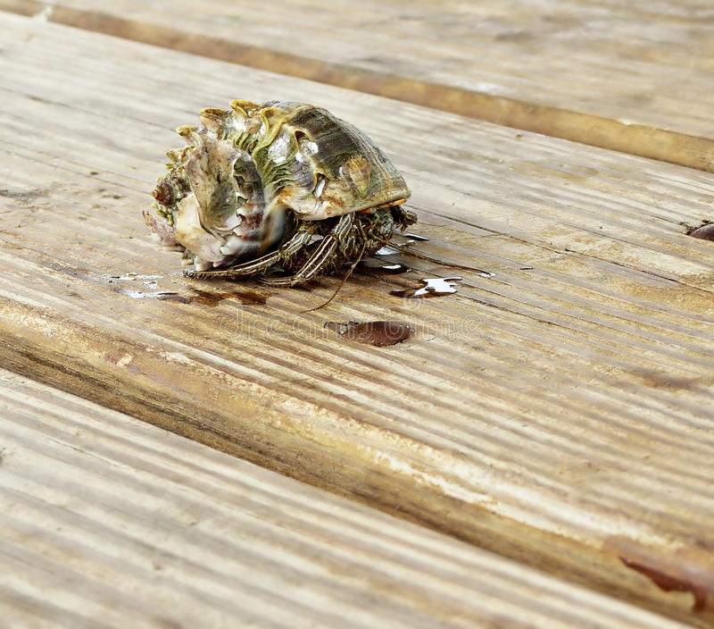 Hermit crab on deck boards stock image