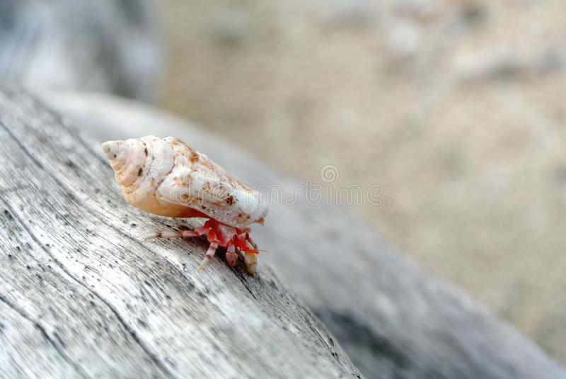 Hermit crab on driftwood royalty free stock photo