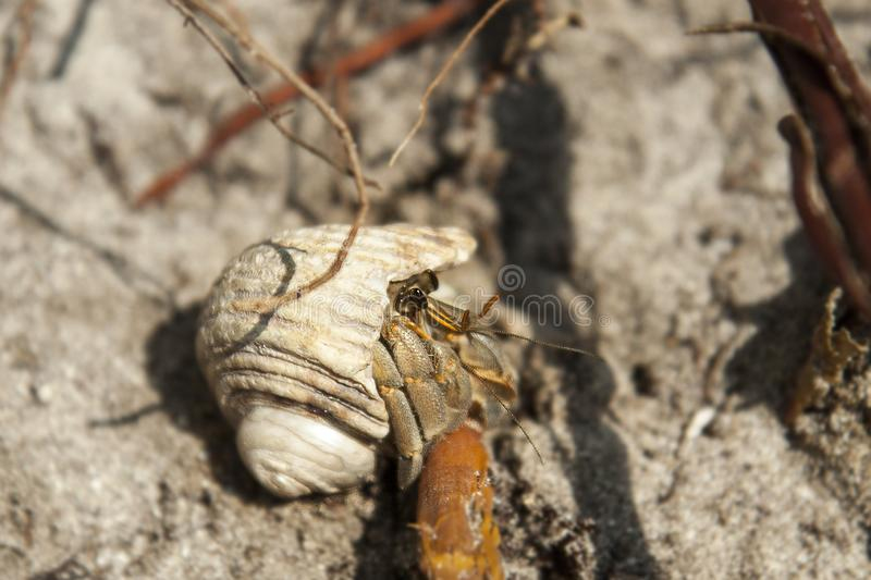 A hermit crab hides in a shell on a sandy shore. Small crustaceans. stock photography