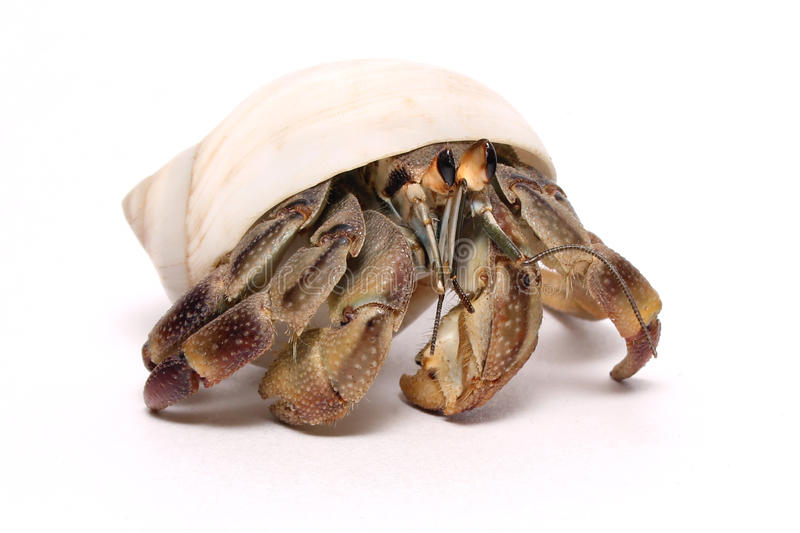 Hermit crab isolated on white stock photography