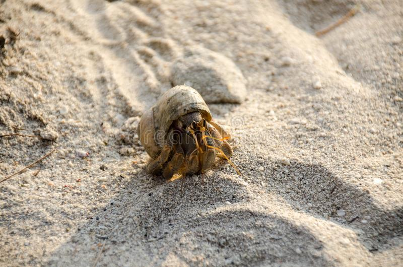 Hermit crab with out shelllat. Paguroidea Hermit crab lat. Pa stock images