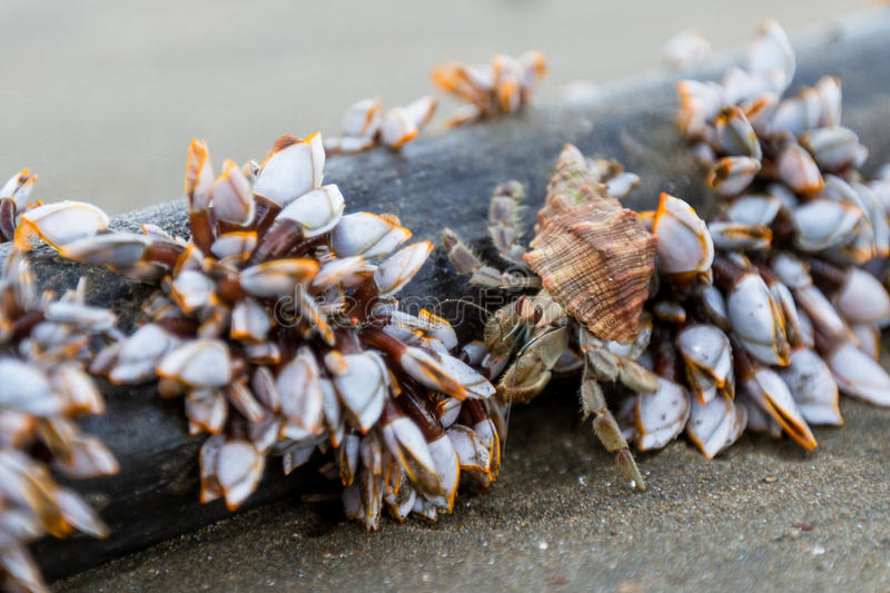 Hermit crab and mussels royalty free stock photo