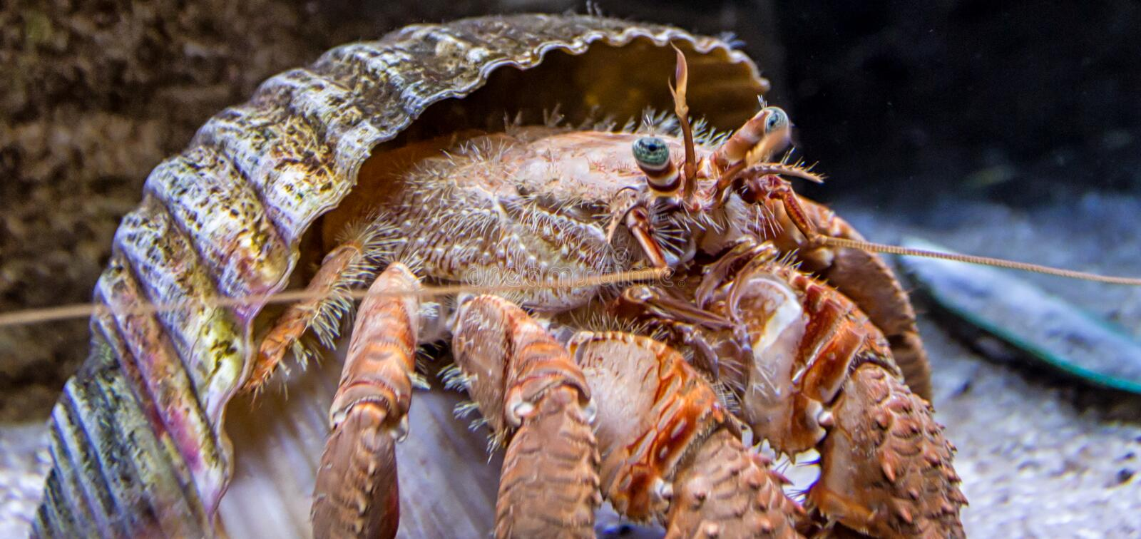Hermit crab out of shell royalty free stock photography