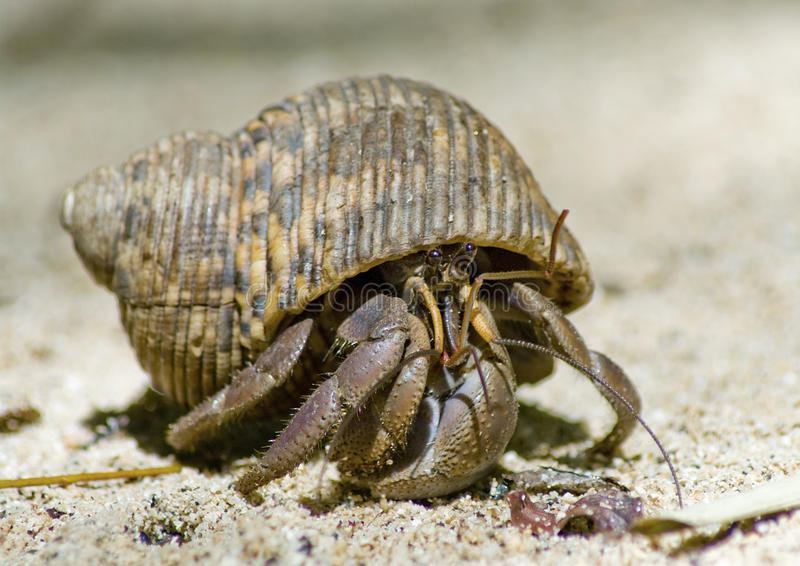 Hermit crab on the sand royalty free stock photo
