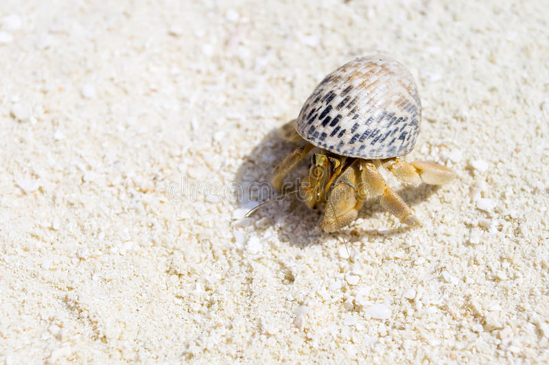Hermit Crab, Soldier Crab, Diogenes-crab. At white sand stock image