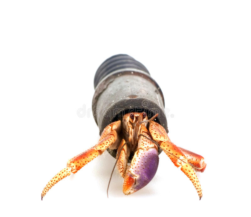 Hermit Crab In A Tube Royalty Free Stock Photography