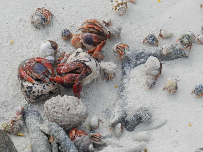 Hermit crabs. Various sized hermit crabs competing for shells stock images