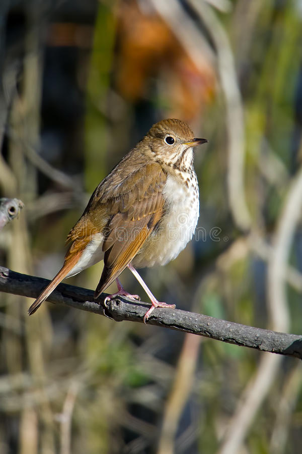 Hermit Thrush. Sitting on a branch royalty free stock images