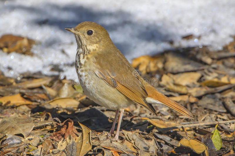 Hermit Thrush. In winter, with snow in the background royalty free stock image