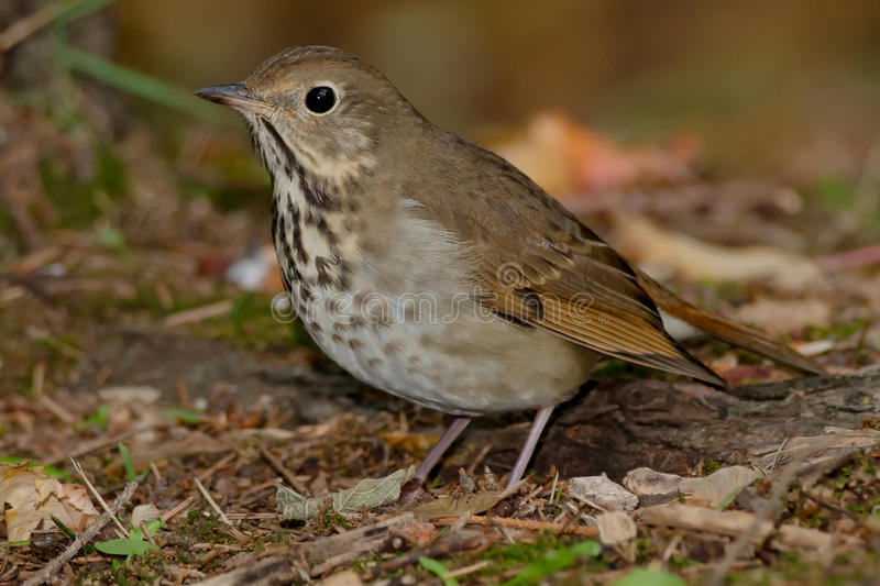 Hermit Thrush. Standing on the forest floor stock photo