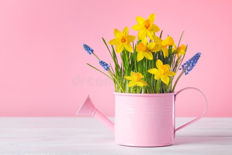 Hermosa composición primaveral con flores daffodil en lata de agua sobre fondo rosa Tarjeta de saludo de feriado del día de la mu imágenes de archivo libres de regalías