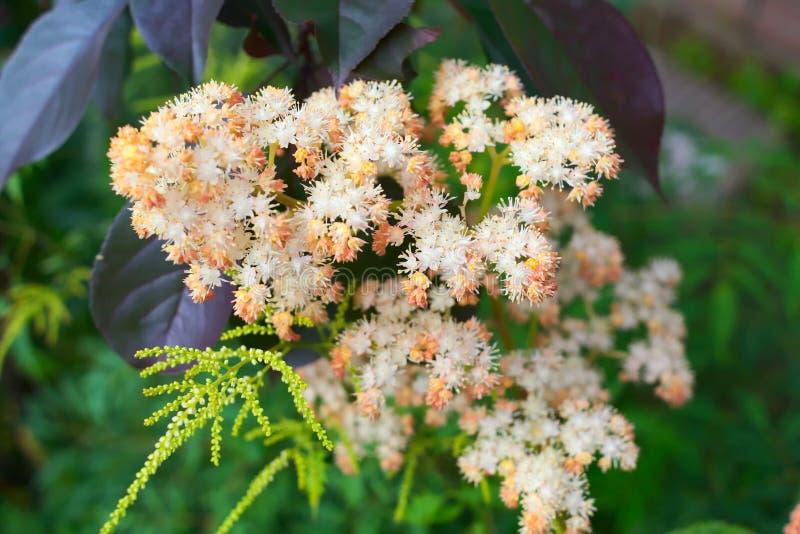 Hermosa flor Lujosa floración Inflorescencia de Rogersia imagenes de archivo