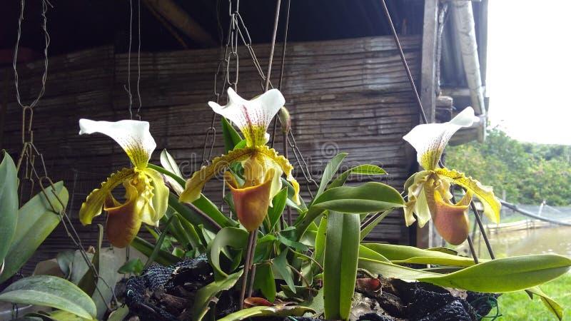3 Orquideas stock photos