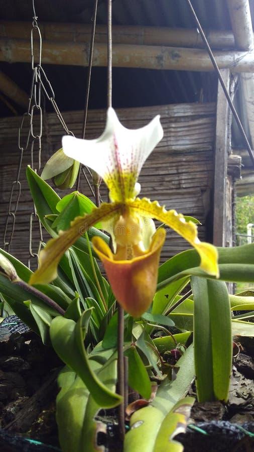 Orquidea royalty free stock image