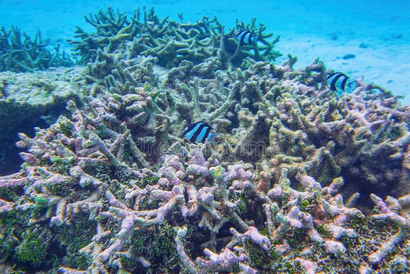 Hermosa vista de arrecifes de coral muertos Mundo subacuático Buceando en el Océano Índico, fotografía de archivo libre de regalías