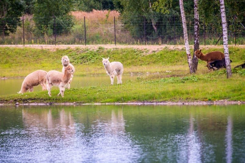 Hermosa vista de caminar de los animales del lama foto de archivo libre de regalías