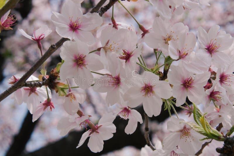 Hermosa vista de flores de cerezo o de Sakura rosadas fotos de archivo libres de regalías
