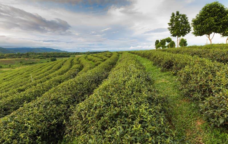 Hermosa vista de la plantación de té al norte de Tailandia fotografía de archivo libre de regalías