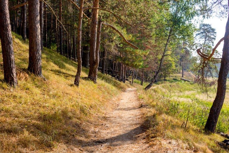 Hermosa vista de la trayectoria que camina en el medio del bosque del pino en la cuesta imagen de archivo