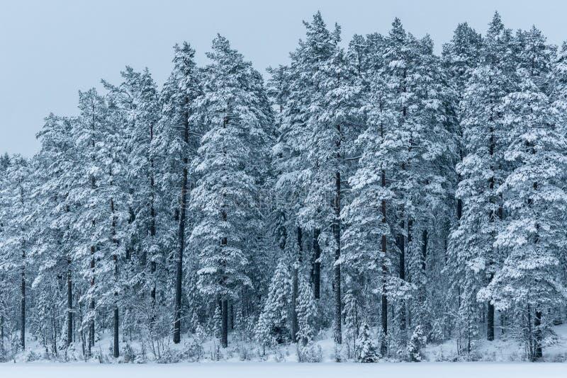 Hermosa vista de un bosque del pino cubierto con nieve fotografía de archivo