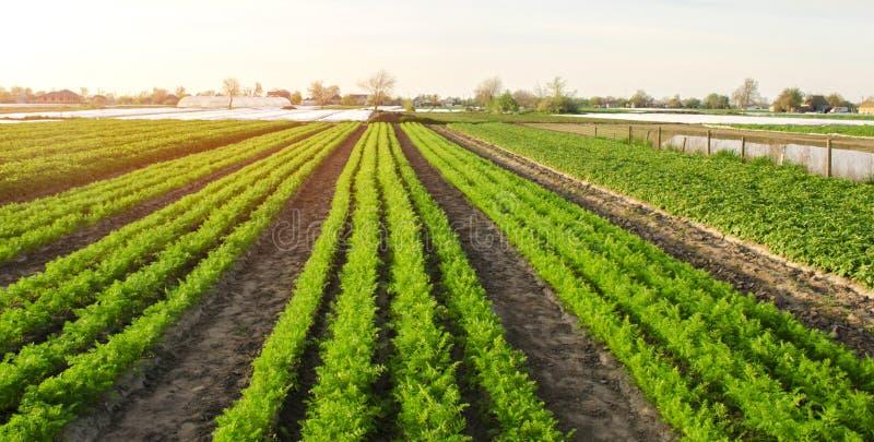 Hermosa vista de una plantaci?n de la zanahoria que crece en un campo Veh?culos org?nicos farming Agricultura Foco selectivo fotos de archivo