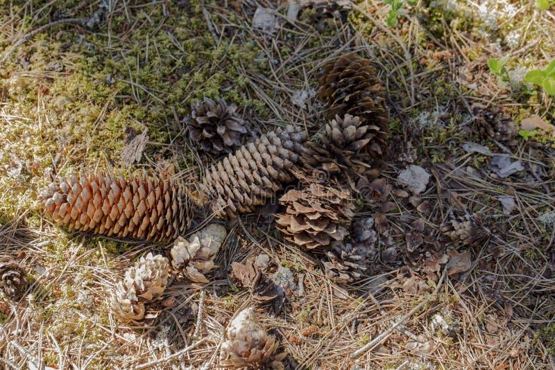 Hermosa vista de varios conos del pino de diversos tamaños y formas imagen de archivo libre de regalías