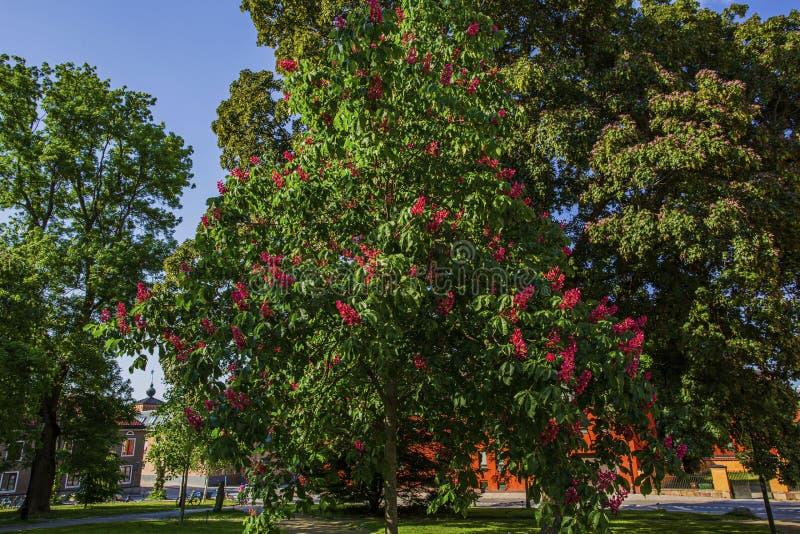 Hermosa vista del árbol verde viejo grande con las flores florecientes rosadas fotografía de archivo libre de regalías