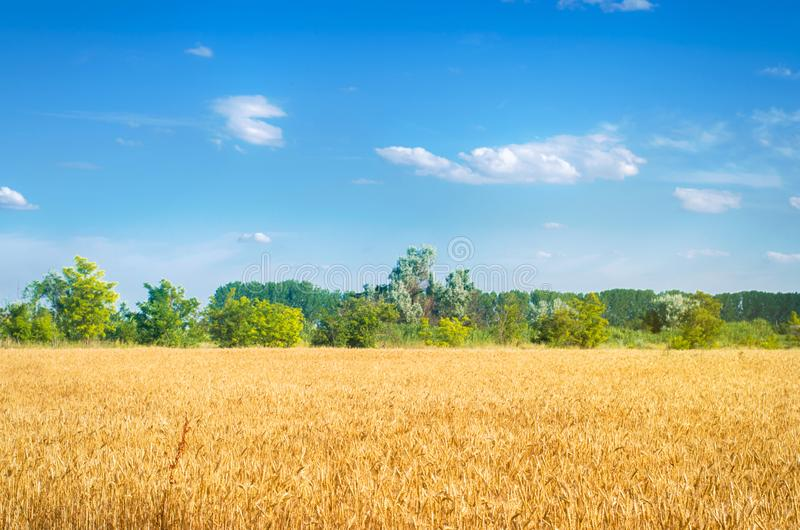 Hermosa vista del campo de trigo y del cielo azul en el campo Cultivo de cosechas Agricultura y cultivo Agroindustria foto de archivo