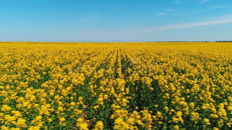 Hermosa vista del campo grande cubierta con las flores amarillas brillantes contra el cielo azul en d?a de verano caliente tiro foto de archivo libre de regalías