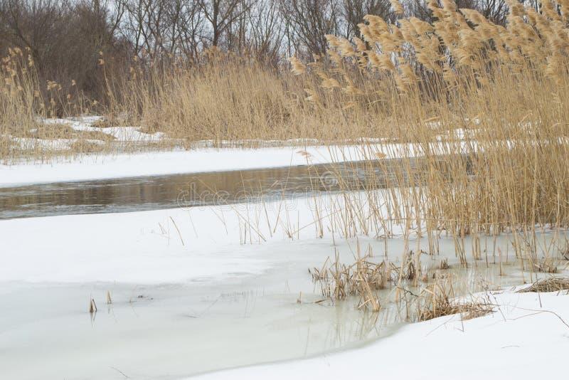 Hermosa vista en la caña seca en el río congelado imagen de archivo libre de regalías