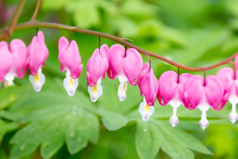 Hermosas flores de sangre rosada en fila y profundidad superficial fotos de archivo libres de regalías