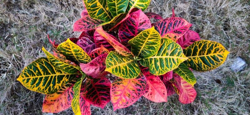 Hermosas hojas verdes rojas en una captura de árbol en Guwahati Assam India fotografía de archivo libre de regalías