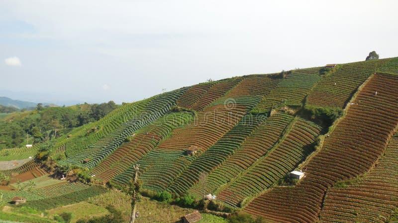 Hermosas vistas de las plantaciones de la cebolla de la construcción de terrazas del campo fotos de archivo