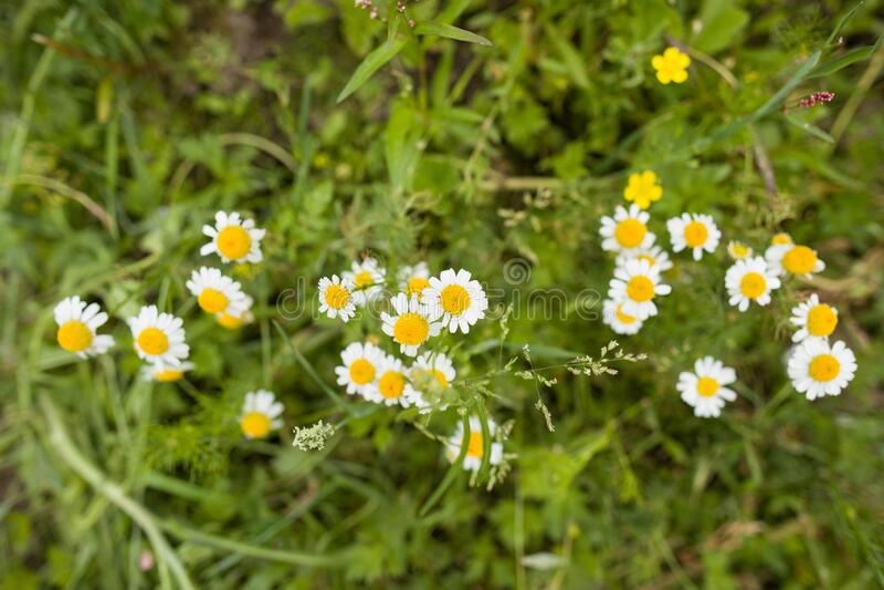 Hermoso campo de margarita floreciente Flores de primavera de Semana Santa Fondo floral de margarita La pradera de manzanilla de  imágenes de archivo libres de regalías