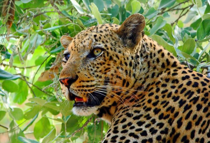 Hermoso cierre de un leopardo africano que está en un árbol en el Parque Nacional de Luangwa Sur, Zambia imagenes de archivo