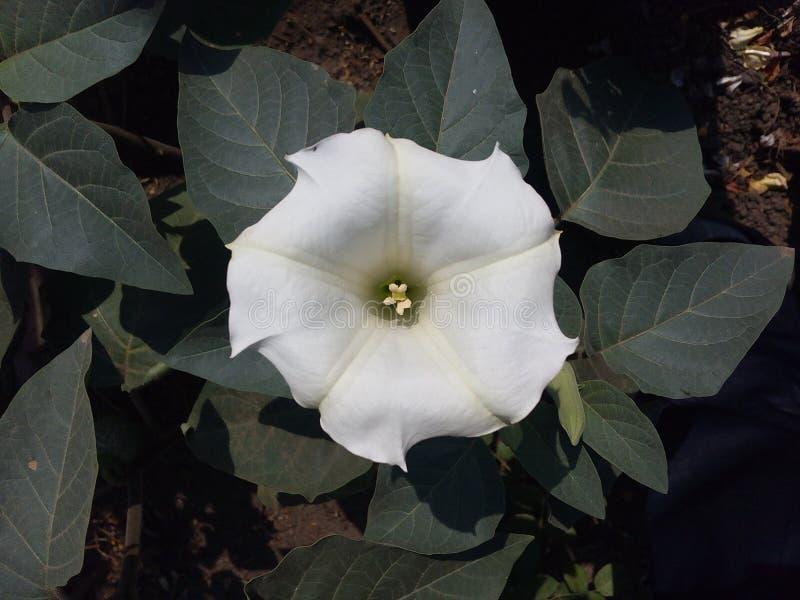 Hermoso, datura, decorativo, exótica, flora, flor, verde, hierba, hoja, hojas, naturales, naturaleza, pétalo, planta, blanca foto de archivo