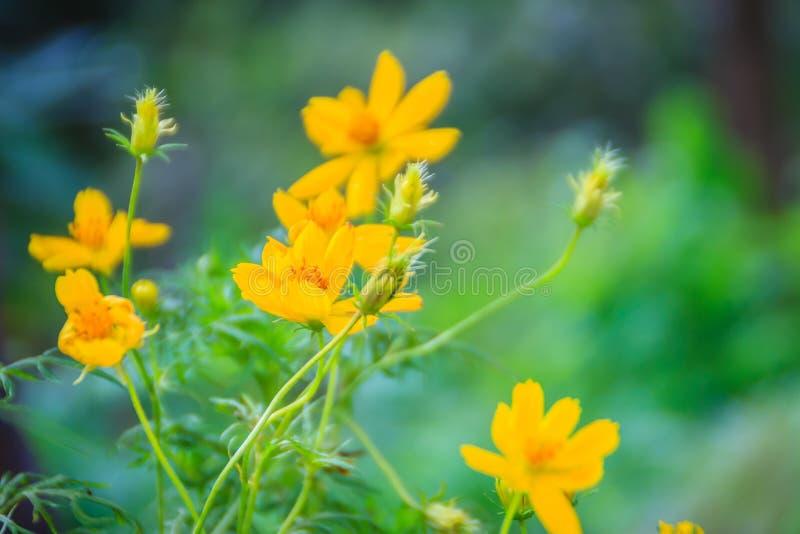 Hermoso de la flor amarilla del cosmos en el fondo verde cosmo fotografía de archivo