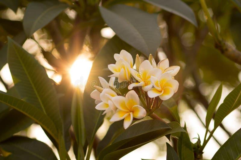 Hermoso de la flor del plumeria imagen de archivo libre de regalías