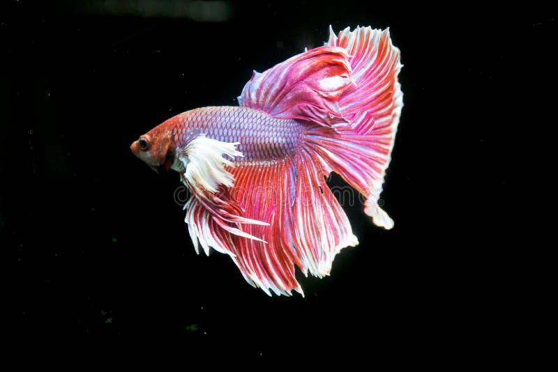 Hermoso de pescados que luchan del betta siamés rojo de la cola fotografía de archivo libre de regalías