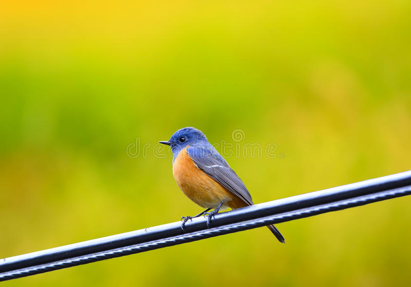 Hermoso del pájaro Azul-afrontado de Redstart (frontalis del Phoenicurus), colocándose en el cable, en la naturaleza de Tailandia imagen de archivo libre de regalías